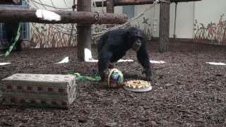 tjobbe (veszprémi állatkert, csimpánz, )