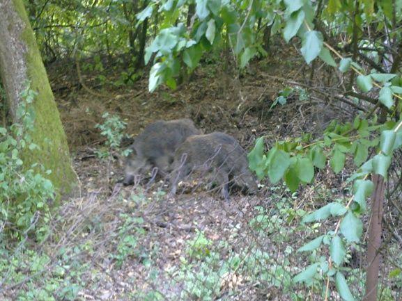 Vaddisznok-a-kertekben(650x433)(1).jpg (vaddisznó, vadászat, )
