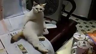 Vakarózó macska (vakarózó macska, macska, cica, )