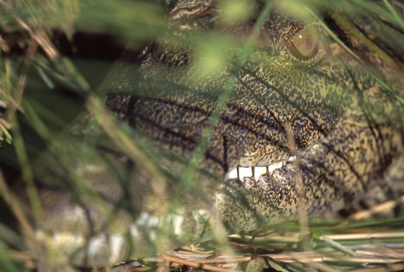aligator(960x640)(2).jpg (aligátor, )
