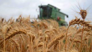 aratás (aratás, búza, mezőgazdaság, )