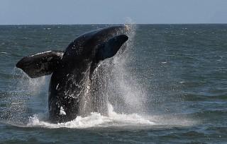 bálna (bálna, )