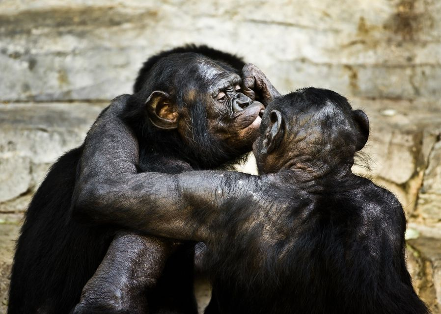bonobók (bonobo, majom, )
