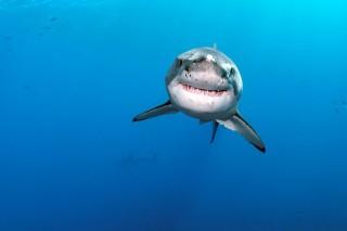fehércápa (cápa, )
