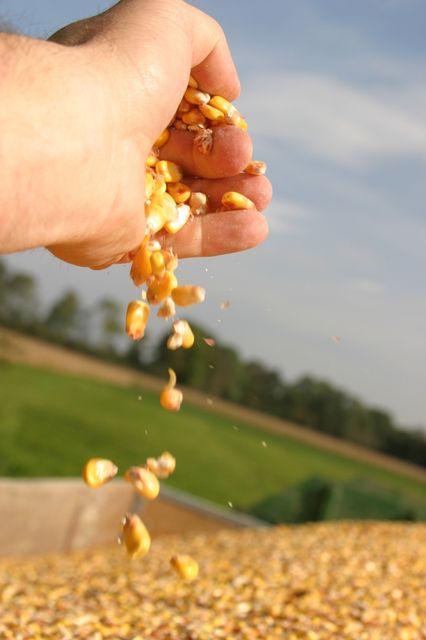 kukorica (gabona, )