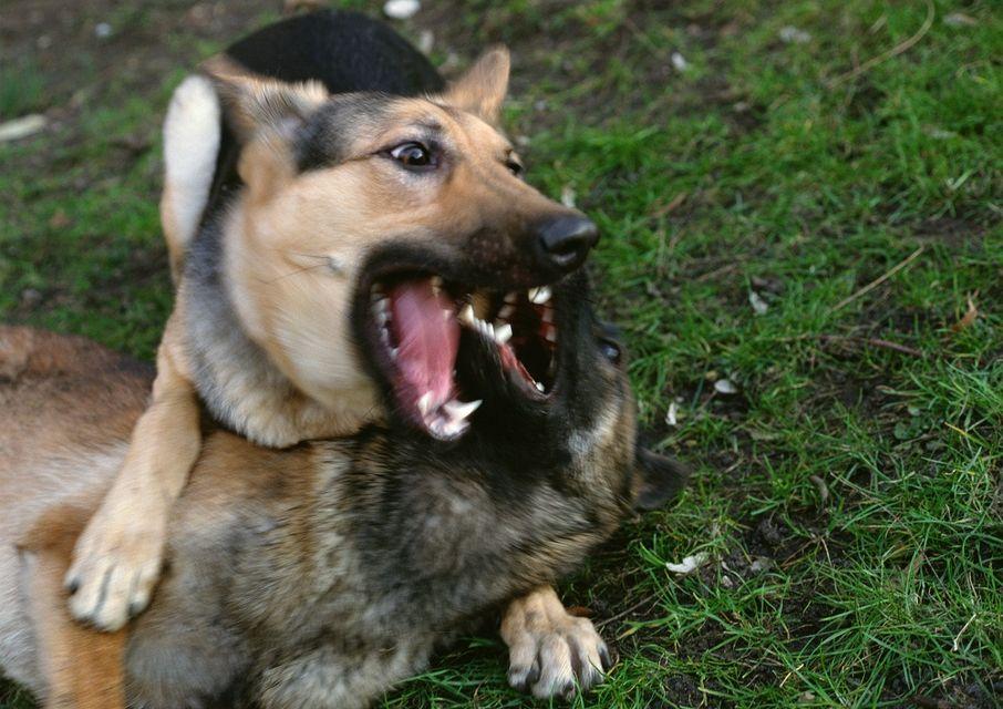 kutyatámadás (kutyatámadás)