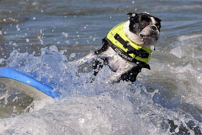 mi a különbség játék kutya szörfdeszkán (játék, kutya, szörf, )