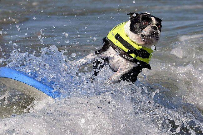 mi a különbség játék kutya szörfdeszkán (játák, kutya, szörf, )