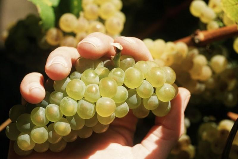 szolo(210x140)(2).jpg (szőlő, )