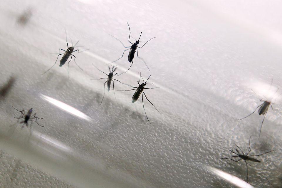 szunyog(210x140)(1).jpg (szúnyog, )