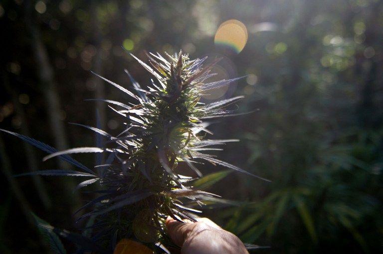 marihuana(960x640)(5).jpg (marihuána, kábítószer, drog, )