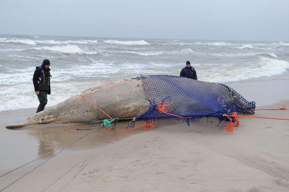 döglött bálna (bálna, )