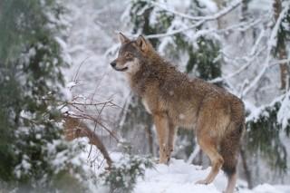 farkas (farkas, )