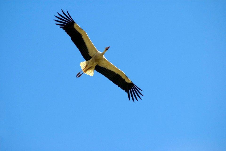 gólya (gólya, )