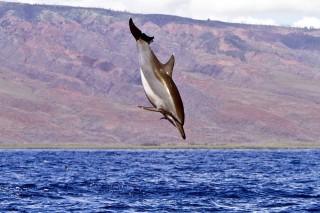 maui delfin (maui delfin)