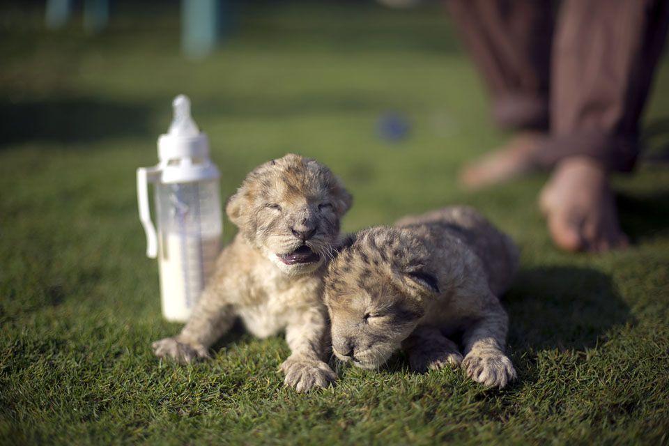 oroszlán ( oroszlán)