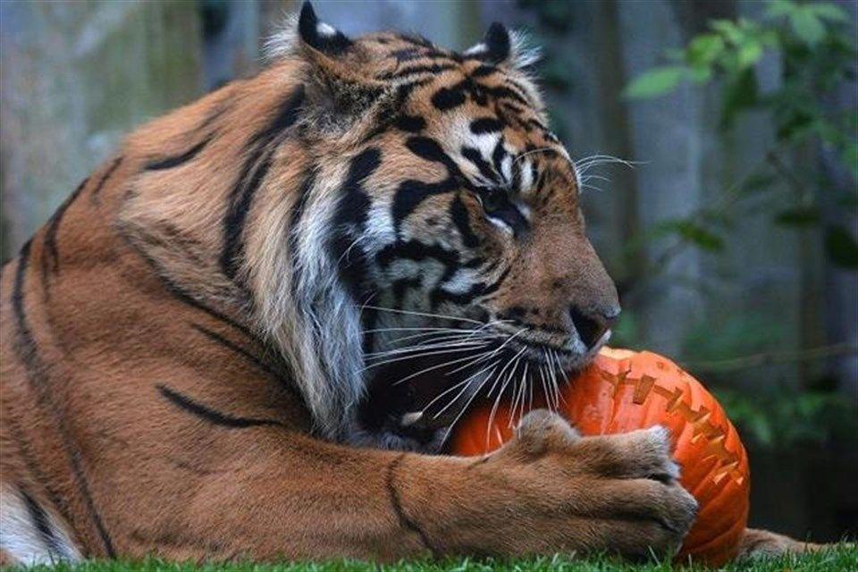 tigris(1)(960x640).jpg (tigris)
