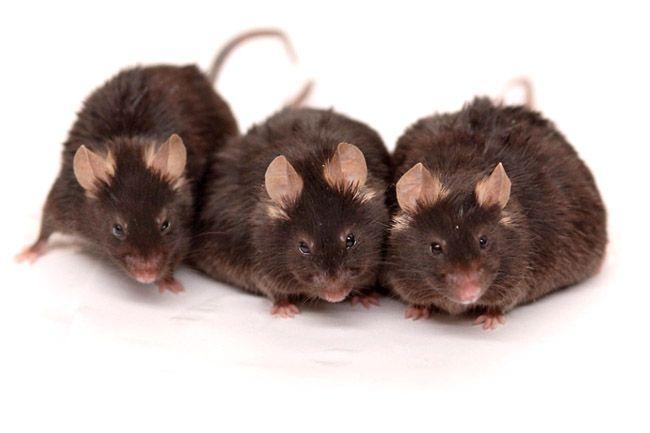 Egerek (egerek)