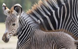 Zebra (zebra, )