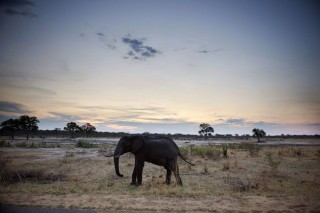 afrikai elefánt (afrikai elefánt, )