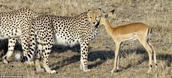 antilop (antilop)