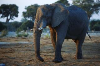 elefánt (elefánt, napi cuki, )
