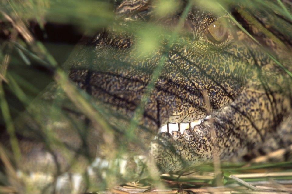 krokodil (krokodil, )