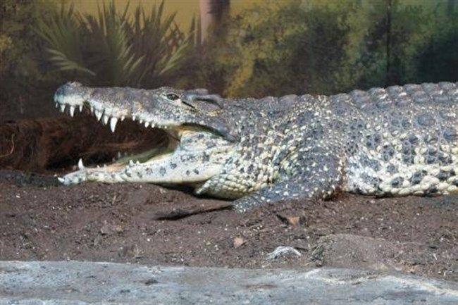 krokodil(650x433).jpg (krokodil)