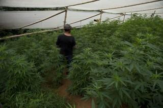 marihuána ültetvény (marihuána, drog, kábítószer, )