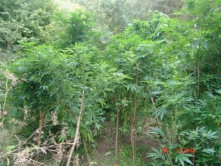 marihuánaültetvény bajóton (marihuána, ültetvény)