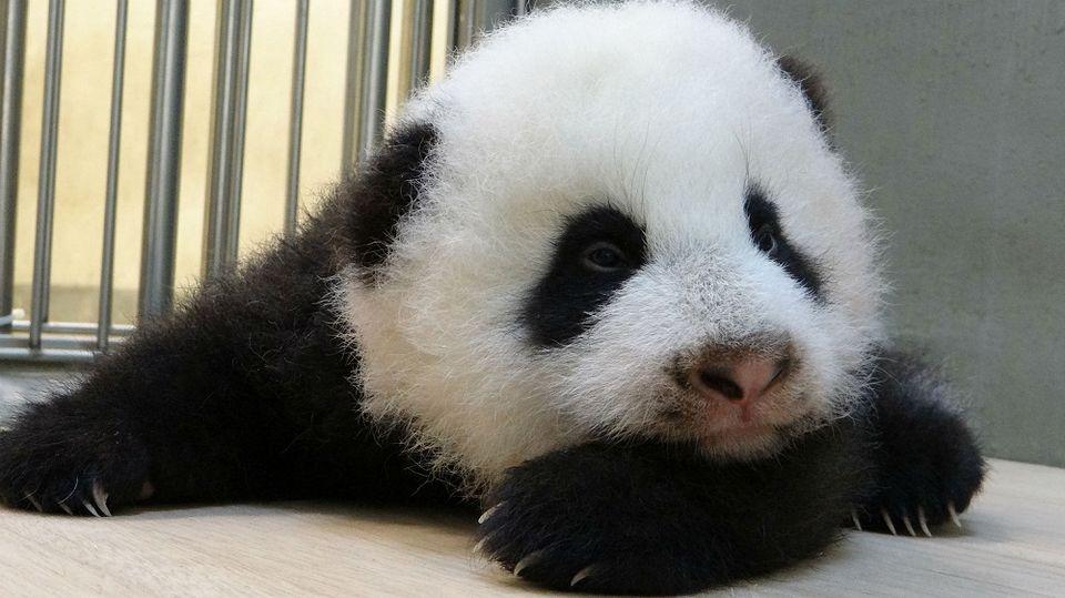 panda (panda)