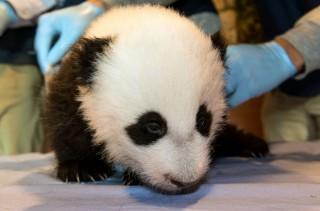 pao pao a washingtoni panda (panda, pandabocs, )