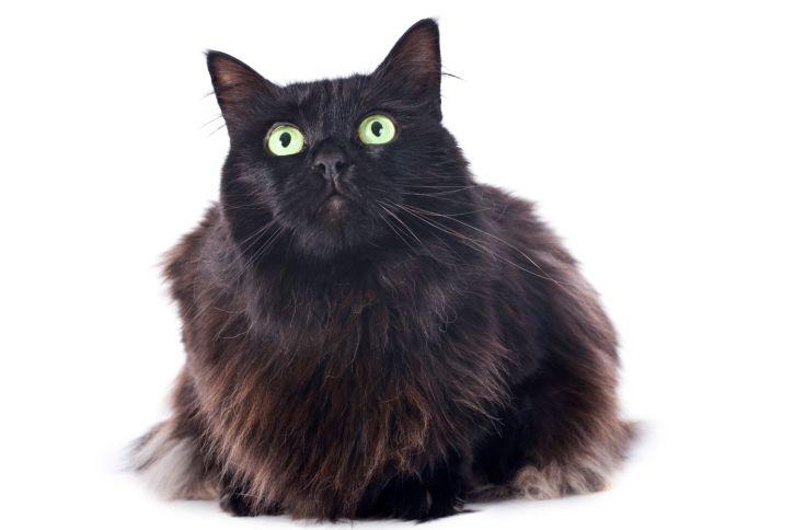Fekete macska (macska, cica, )