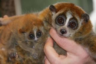 Lajhármaki született a Szegedi Vadasparkban (lajhármaki, születés, faj megmentő program, szegedi vadaspark)