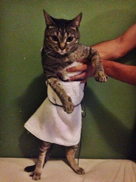Lawrencing cica (Jennifer Lawrence, macska, cica)