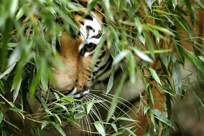Nagy ragadozók kihalása (tigris, )