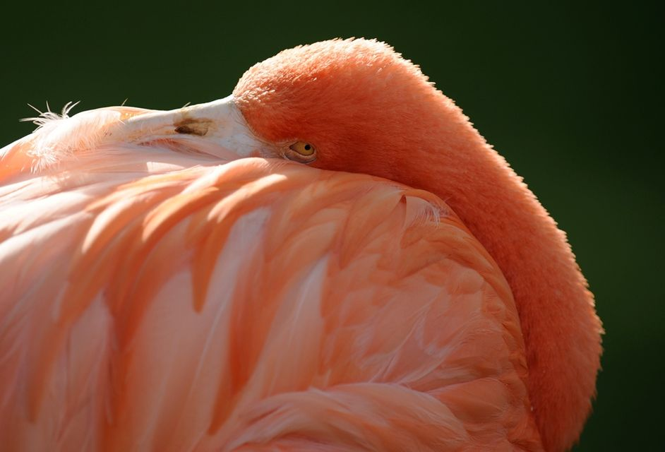 flamingó (flamingó, )