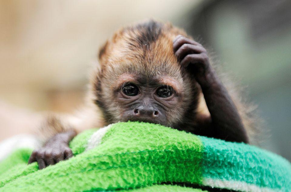 kapucinus majom (majom, állatbébi)
