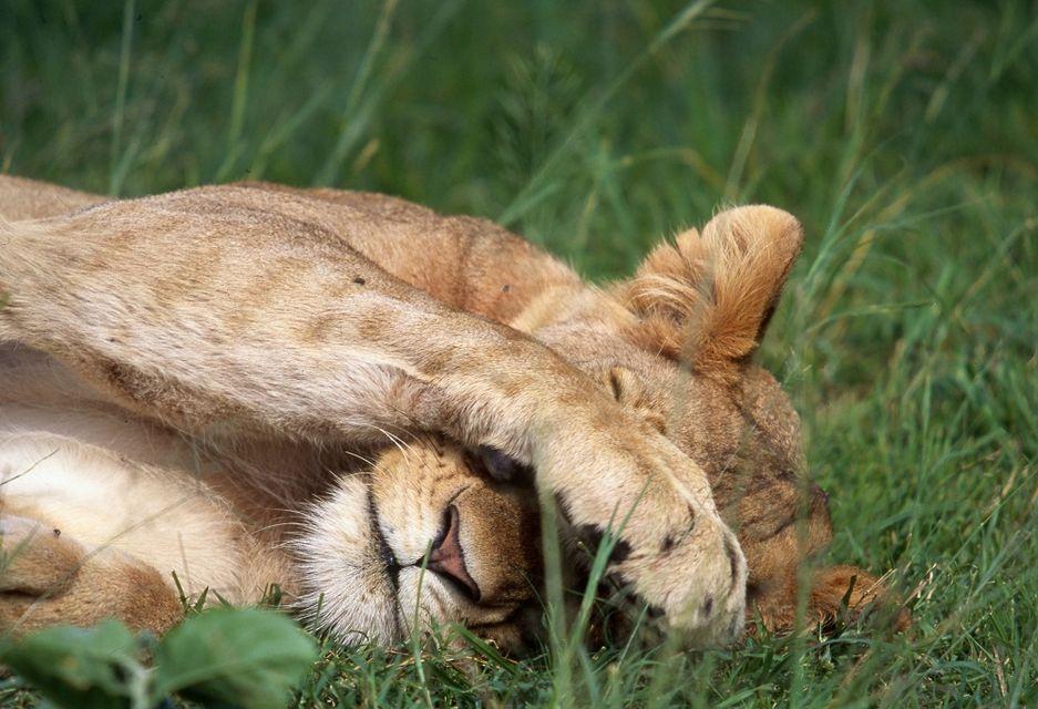 oroszlán (oroszlán)