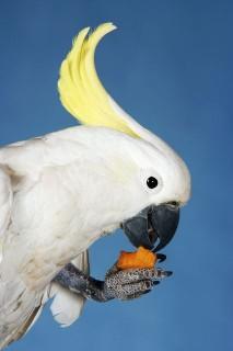 papagáj (papagáj, )