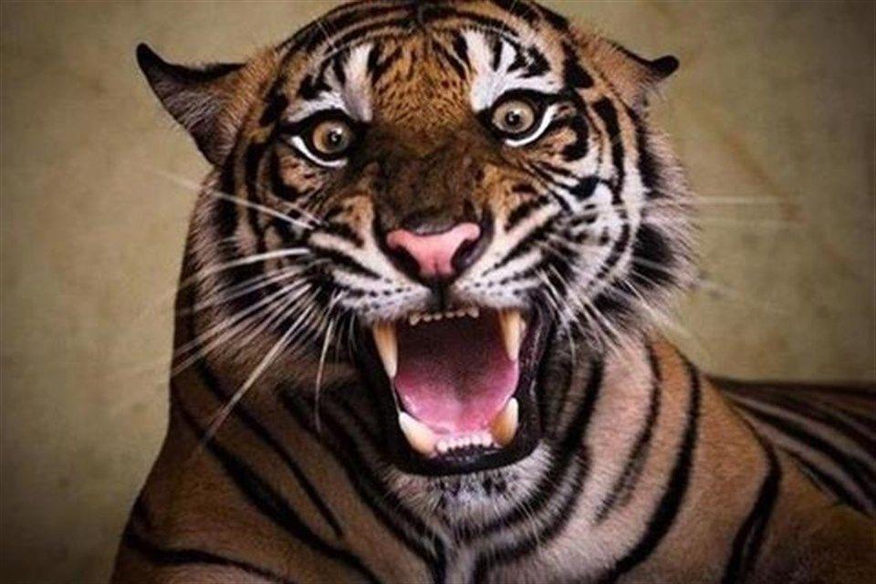 tigris(1)(2)(960x640).jpg (tigris, )