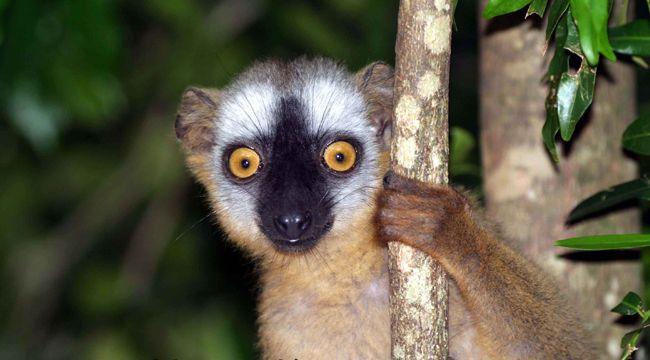 lemur1 (lemur, madagaszkár, )