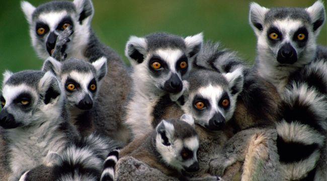lemur2 (lemur, madagaszkár, )