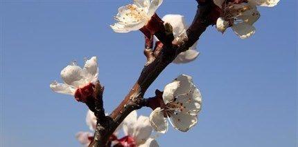 Barackfa-tavasszal(430x286).jpg (barackfa, barackfavirágzás, tavasz, időjárás, )