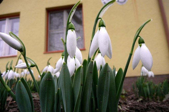 Hovirag(650x433).jpg (hóvirág, hódmezővásárhely, )
