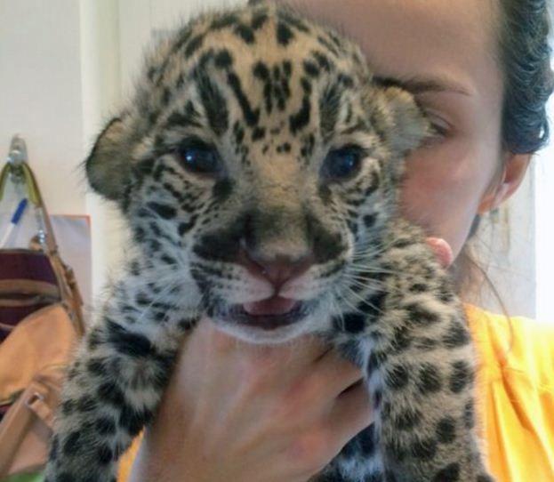 jaguár (jaguár, )