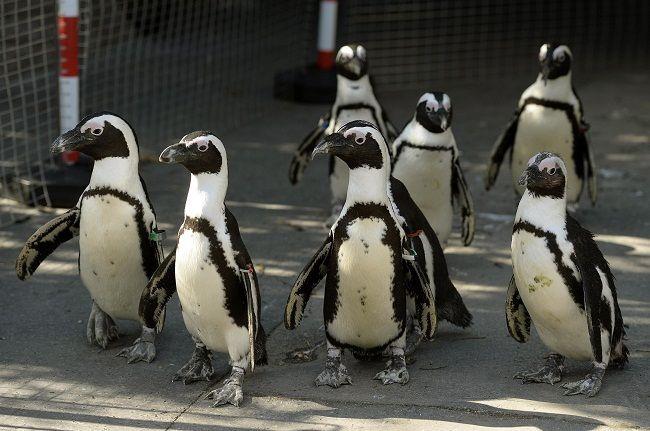 pingvinek a kifutón (pingvin, állatkert, )