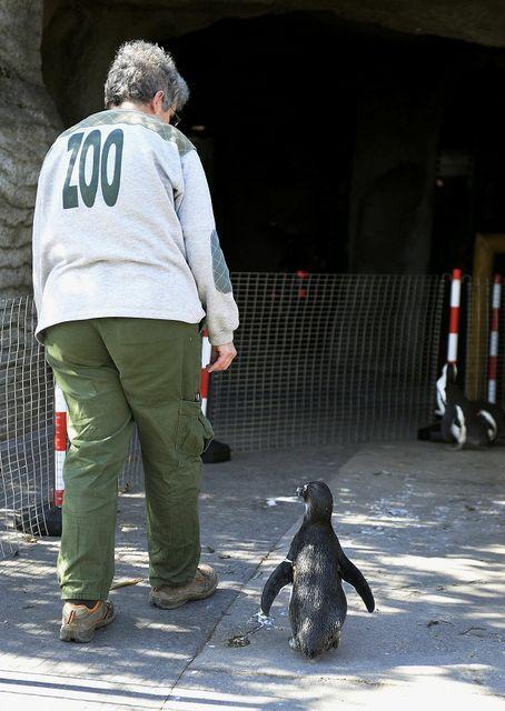 pingvinek a kifutón (pingvin, állatkert)