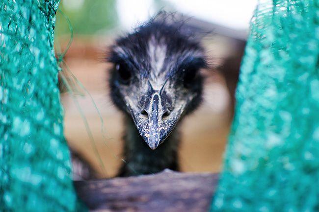 Emu (emu)