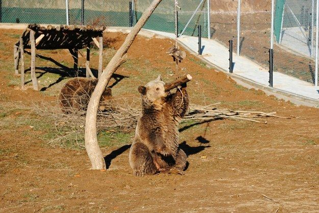 Medve fagurigával (medve, fadarab)